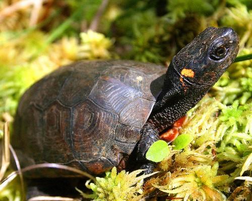 Endangered Bog Turtle