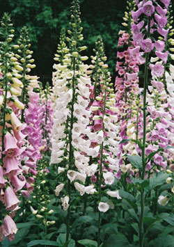 Lush foxgloves, photo by Paula