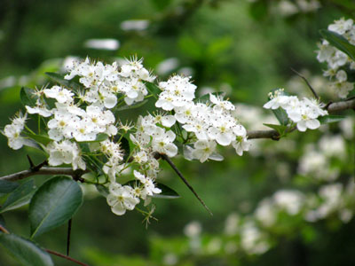 Hawthorne Flowers Hawthorn Trees Are Thick With Thorns